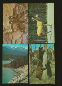Lot of 4 Taylorchrome Wildlife Canadian National Parks Rocky Mountains Postcard