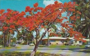 Florida Floridas Royal Painciana One Of The Most Beautiful Flowering Tree in ...