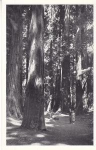 John Muir National Monument - Sequoias   Unused