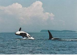 Killer Whale in wild, Vancouver Island , B.C. , Canada , 50-60s