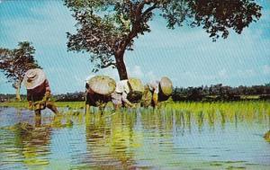 Philippines Planting Rice 1960