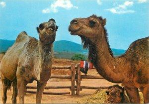 Postcard canarian island camels