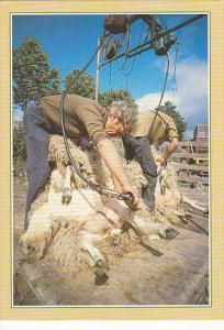 Scotland Traditional Crafts Sheep Shearing