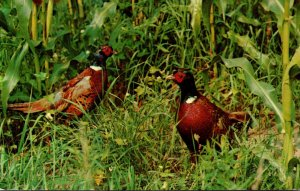 Birds Ring Necked Pheasants 1976