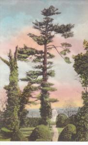 CHARLOTTESVILLE, Norway Pine, Original Boxwood and Statue of Monroe, Virginia...
