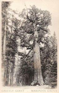 LPS46 Mariposa Grove California Grizzly Giant Sequoia Trees Postcard RPPC