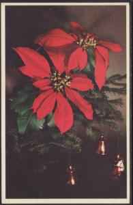 Poinsettia,Mainzer Postcard