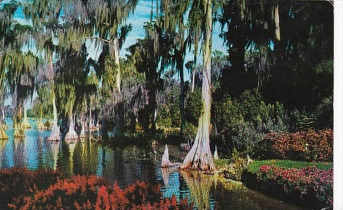 Florida Cypress Gardens Cypress Trees On Lake Eloise 1980