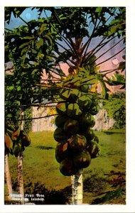 Hawaiian Island Papaya Tree With Fruit