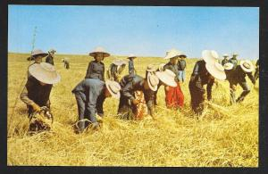 Harvesting in Thailand unused c1950's