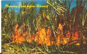 Harvesting Sugar Cane, Hawaii, unused Postcard