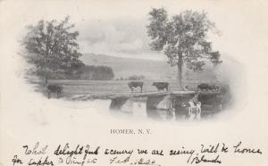 Cows on Tioughnioga River Bridge - Homer NY, New York - pm 1906 - UDB