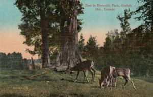 GUELPH , Ontario , Canada , 1912 ; Deer in Riverside Park