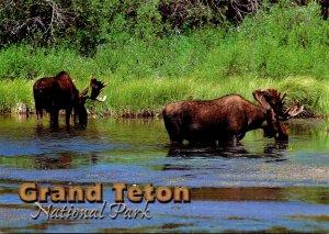 Wyoming Grand Teton National Park Shiras Moose