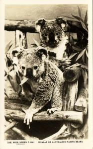 australia, Two Koalas or Australian Native Bears (1940s) RPPC