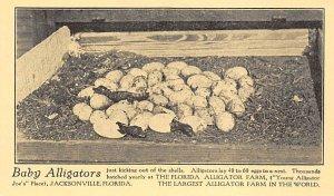Baby Alligators Jacksonville, Florida, USA Alligator Unused