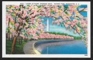 Cherry Blossoms Riverside Drive Potomac Park unused c1940's