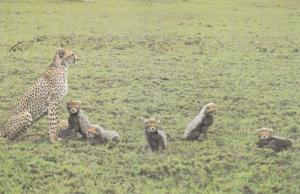 TANZANIA , 1977 ; Cheetah with cubs , Fort Ikoma Lodge