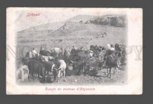 082564 AFRICA Djibouti Boeufs du plateau Abyssinie Vintage PC
