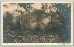 Bulawayo Rhodesia (Zimbabwe) Hunter's Gun by Bagged Common Eland Bull~RPPC 1915?