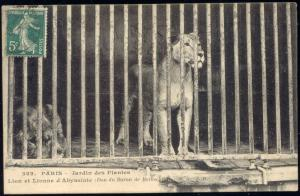 france, PARIS, Jardin des Plants, LION LIONESS (1920s)
