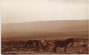 Dartmoor Ponies (pony, horse)
