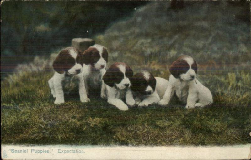 TUCK Animal Life Series #1425 Spaniel Puppy Dogs in Field c1910 Postcard