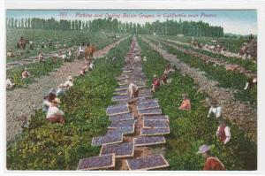 Raisin Grape Picking Drying Farming Fresno California 1910 postcard