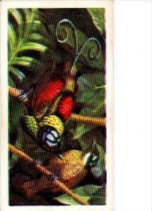 Brooke Bond Trade Card Tropical Birds No 50 Wilson's Bird Of Paradise