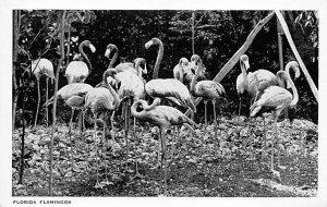 Florida Flamingos Florida, USA Writing on back