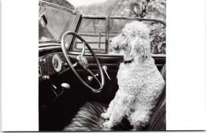 Postcard Poodle in the Driving Seat Classic Car by English Heritage