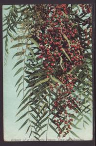 California Pepper Tree With Berries Postcard