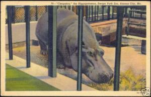 Hippo, Hippopotamus at Swope Park ZOO, Kansas City 30s