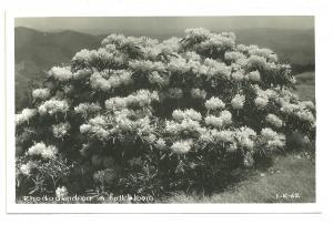 Rhododenron in full bloom, RPPC