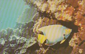 Queen Angel Fish At Pennekamp Coral Reef State Park In Key Largo Florida