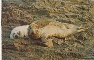 Farne Islands Seal Seals & Baby Pup Postcard
