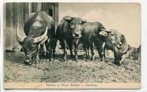 Water Buffalo Caribou Honolulu Hawaii 1910c postcard