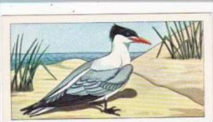 Glengettie Tea Trade Card Rare British Birds No 7 Royal Tern