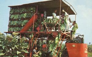 Farm Laborers Tobacco Harvest Ga Georgia Bright Leaf Tobacco  Postcard E3