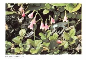 Linnaea Borealis - New York Botanical Garden