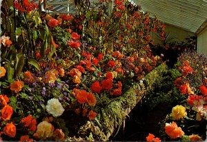 Canada Victoria Butchart Gardens Tuberous Begonias