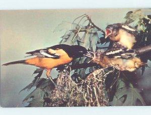 Pre-1980 BALTIMORE ORIOLE BIRD AT SAPSUCKER WOODS Ithaca New York NY AD2314