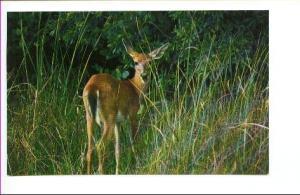 White Tailed Deer, Everglades Park, Florida