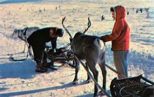 Finland, Suomi Reindeer in Finnish Lap Land  Reindeer in Finnish Lap Land