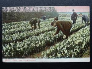 Cornwall & Silly Isles NARCISSUS FLOWER FARM c1910 Old Postcard