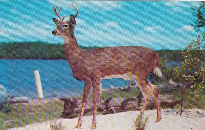Male Deer Greetings From Newton New Jersey