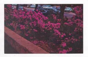 Azaleas In Full Bloom In Cleveland Park,Greenville,SC