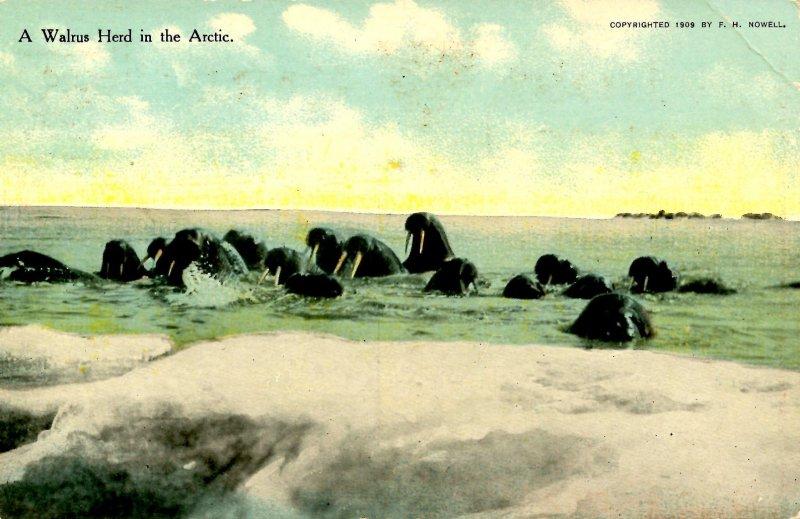 Arctic Region - A Walrus Herd