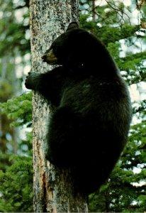 Yellowstone National Park American Black Bear