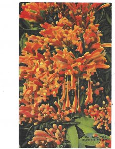 Begonia Venusta Flame Vine of Florida